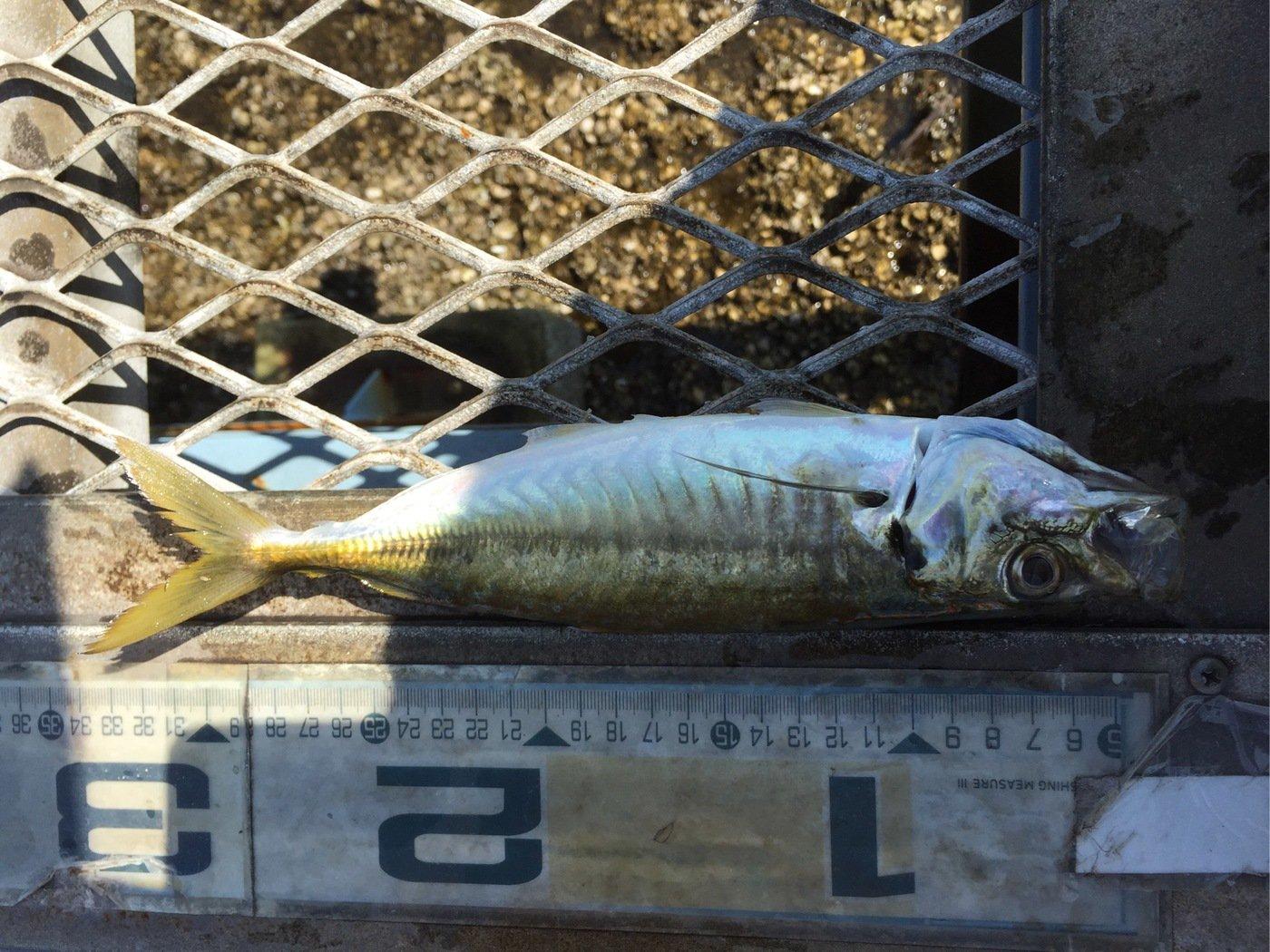 魚おじさんさんの投稿画像,写っている魚はアジ