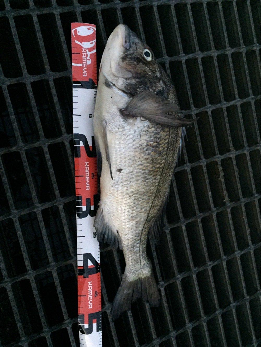 らたちゃんさんの投稿画像,写っている魚はクロダイ