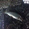 やきとりマスさんの埼玉県朝霞市での釣果写真