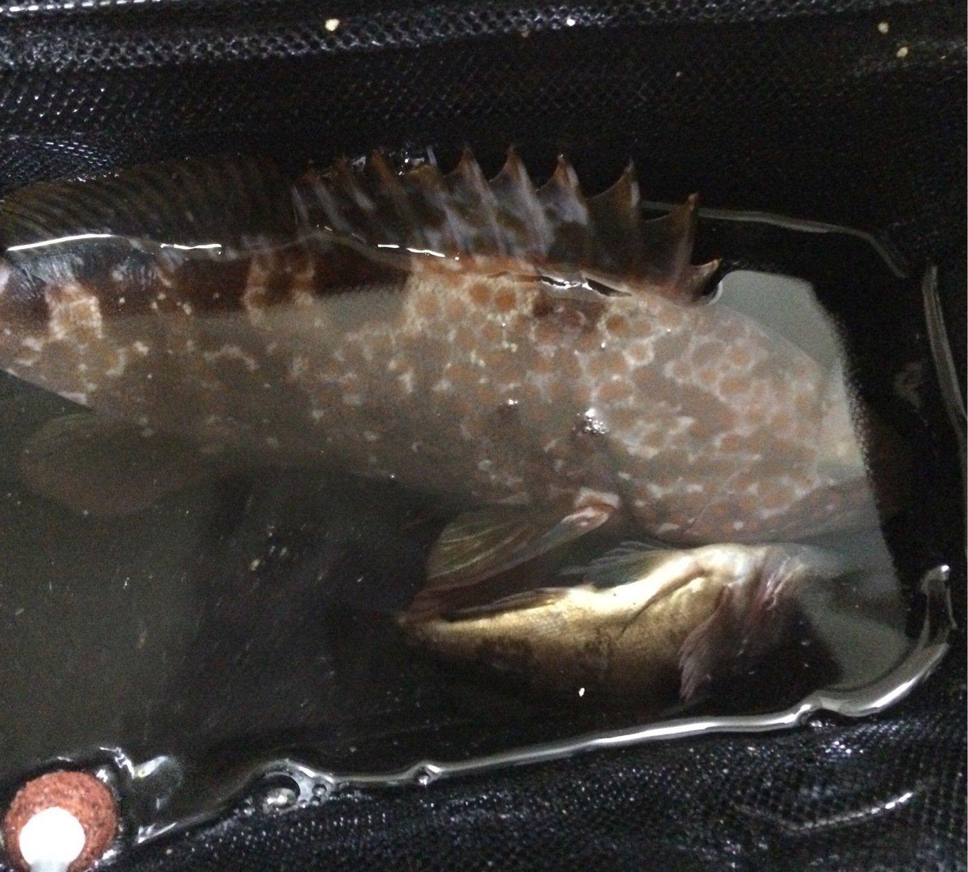 まさやさんの投稿画像,写っている魚はキジハタ