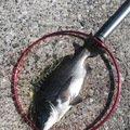 目板 銀次狼さんの大分県佐伯市でのクロダイの釣果写真