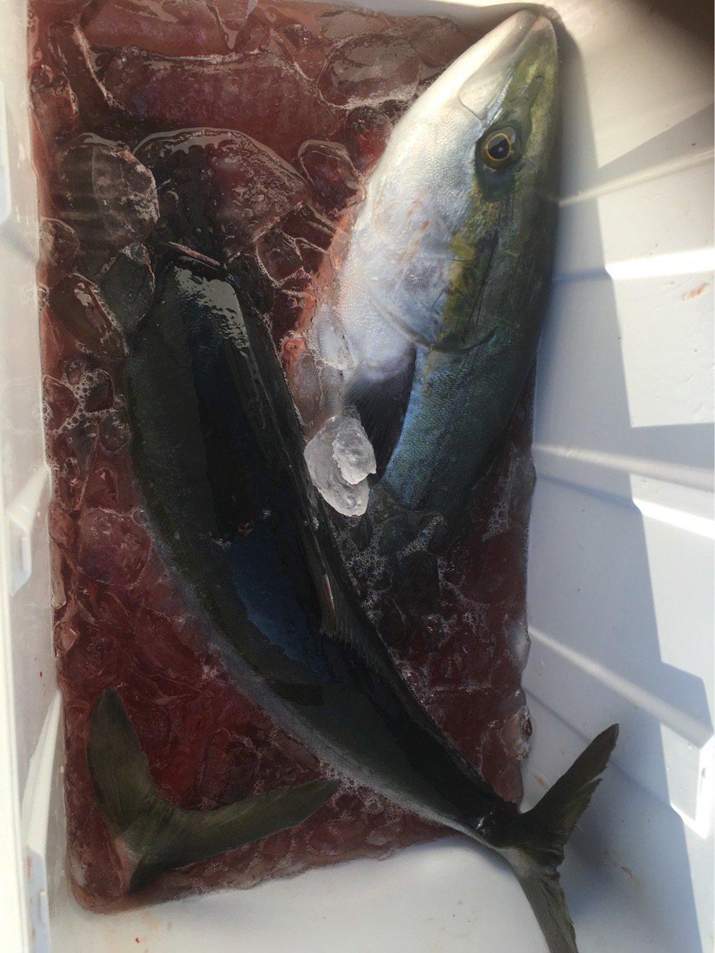 ゆーみさんの投稿画像,写っている魚はワラサ