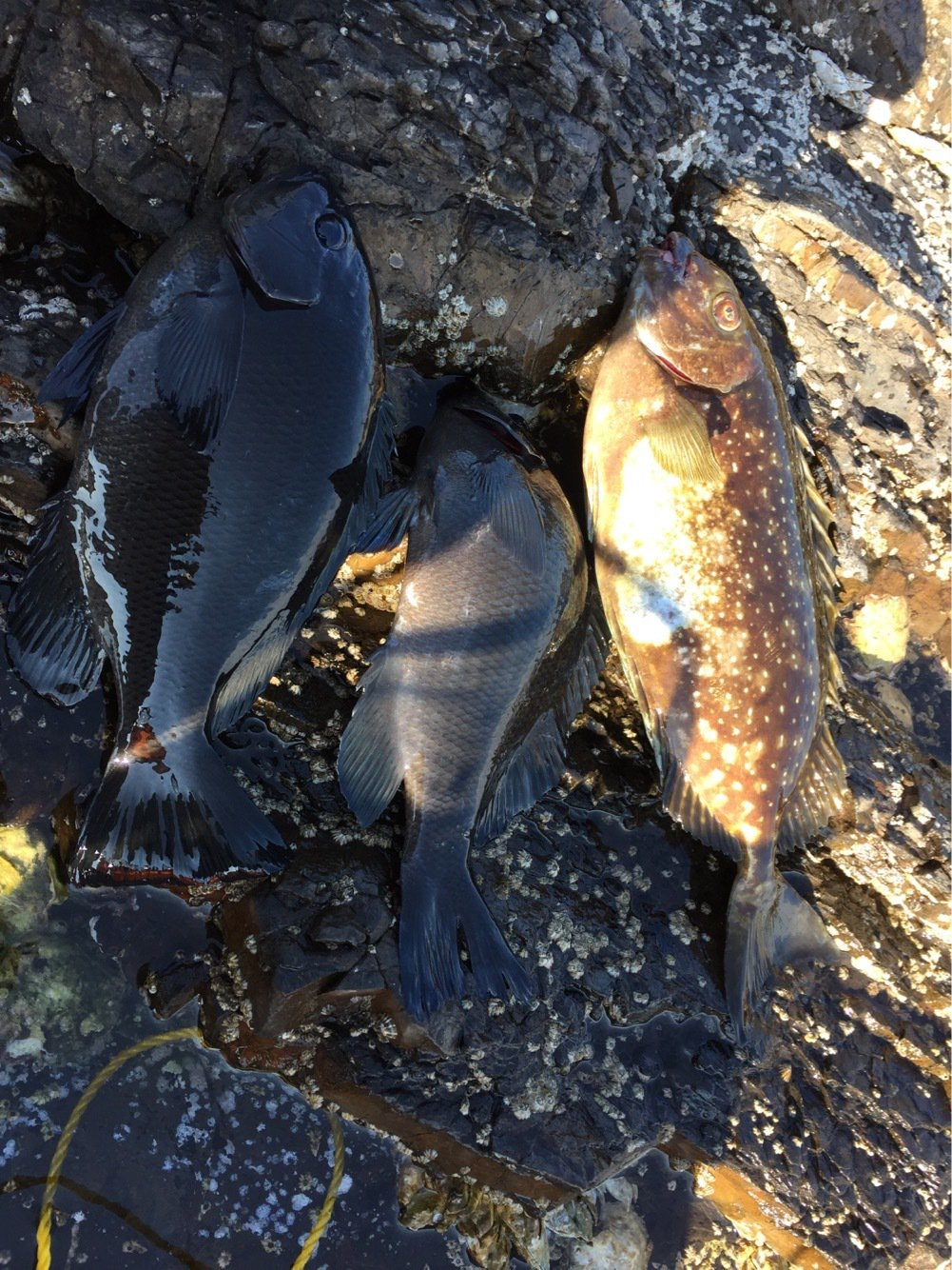 佐藤さんの投稿画像,写っている魚はメジナ