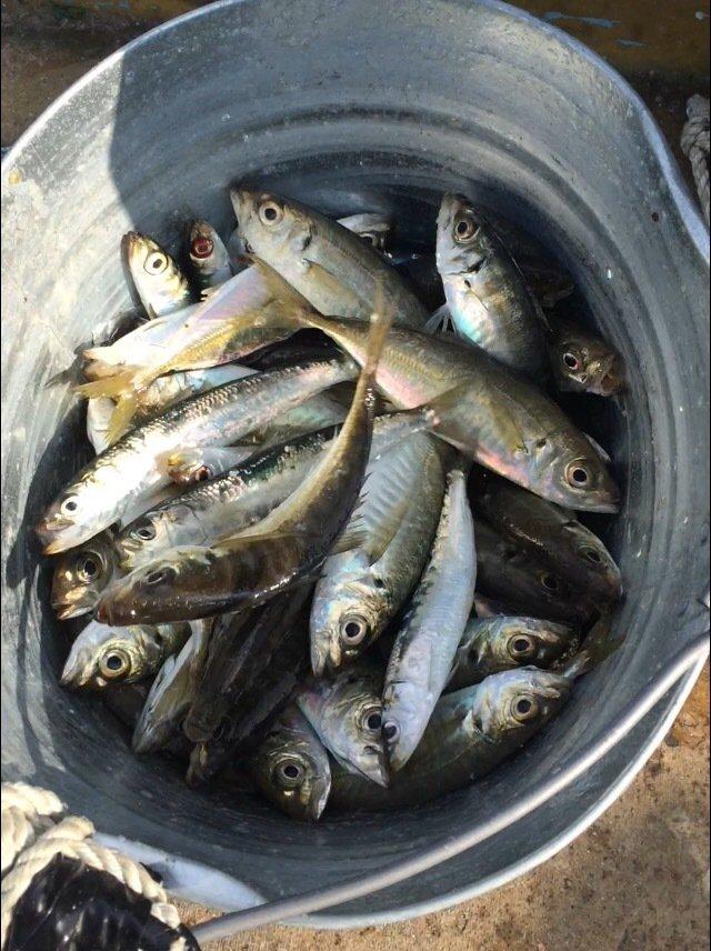 グランダーさんの投稿画像,写っている魚はアジ