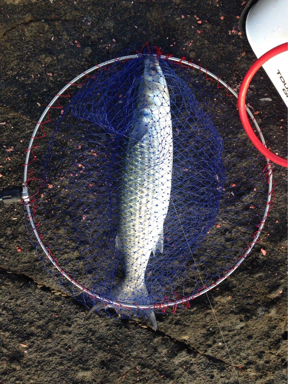 EKさんの投稿画像,写っている魚はボラ
