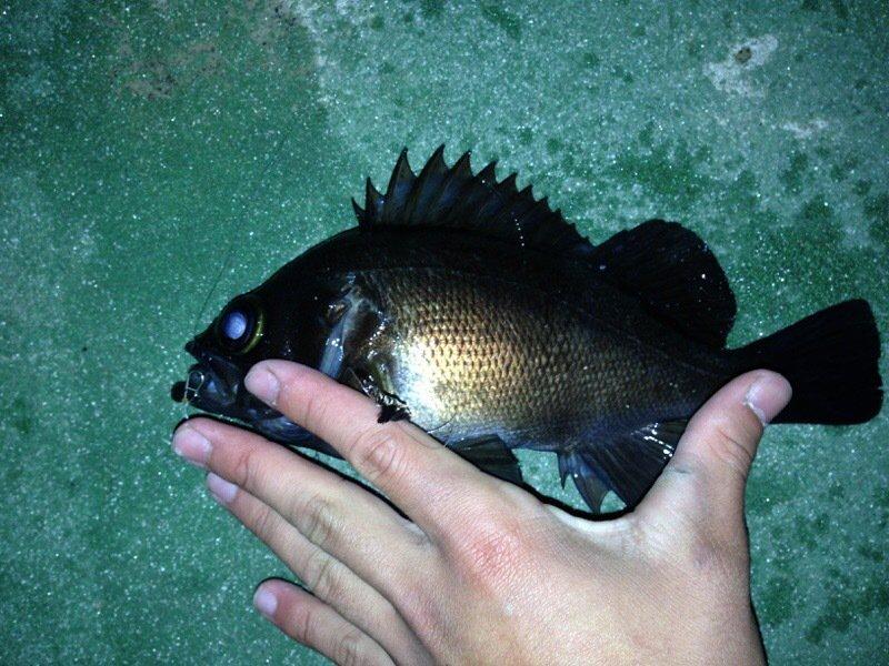 ロックフィッシャーさんの投稿画像,写っている魚はクロメバル