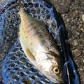 ヤッシーさんの長野県塩尻市での釣果写真