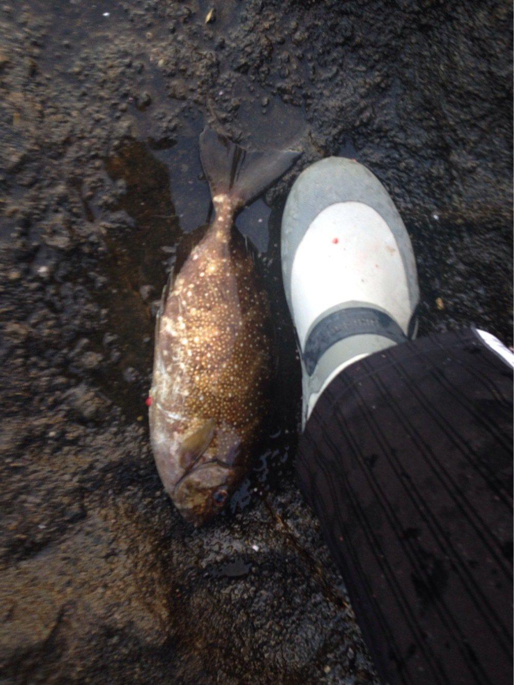 EKさんの投稿画像,写っている魚はアイゴ