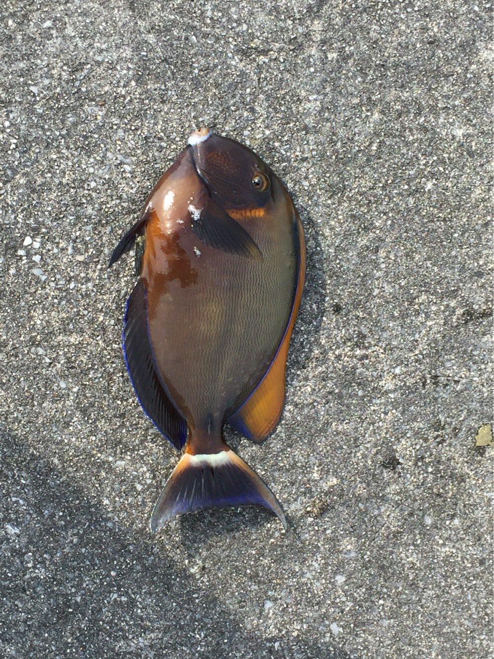 たつきさんの投稿画像,写っている魚はニセカンランハギ