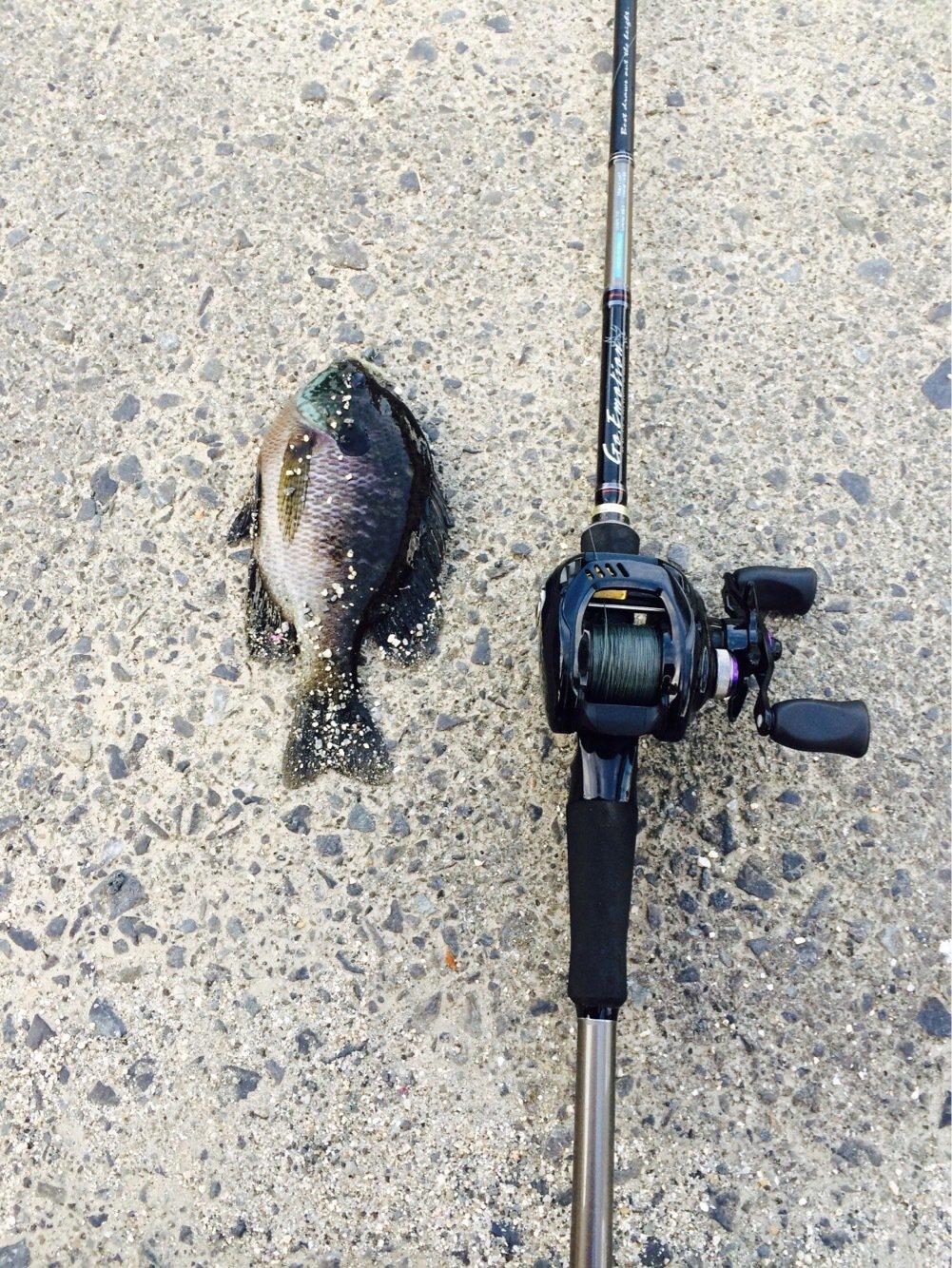 りょさんの投稿画像,写っている魚はブルーギル