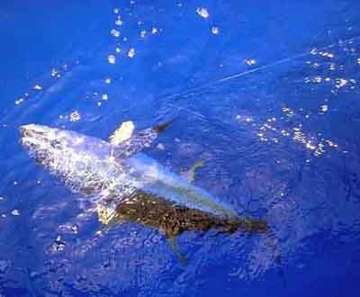 hosaさんの投稿画像,写っている魚はキハダマグロ