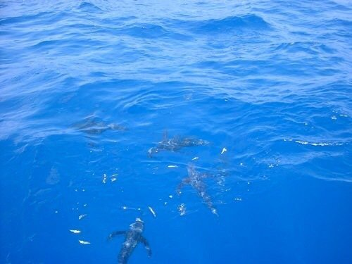 hosaさんの投稿画像,写っている魚はコシナガマグロ