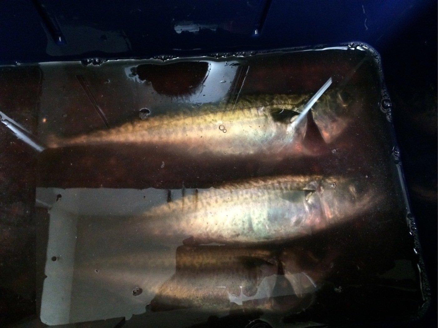 ohhataさんの投稿画像,写っている魚はゴマサバ