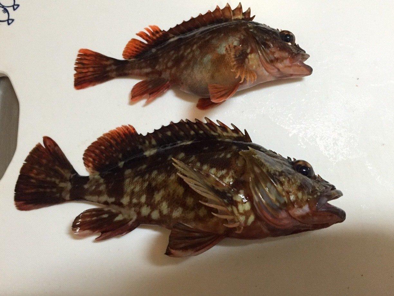 ナガタリョウさんの投稿画像,写っている魚はカサゴ