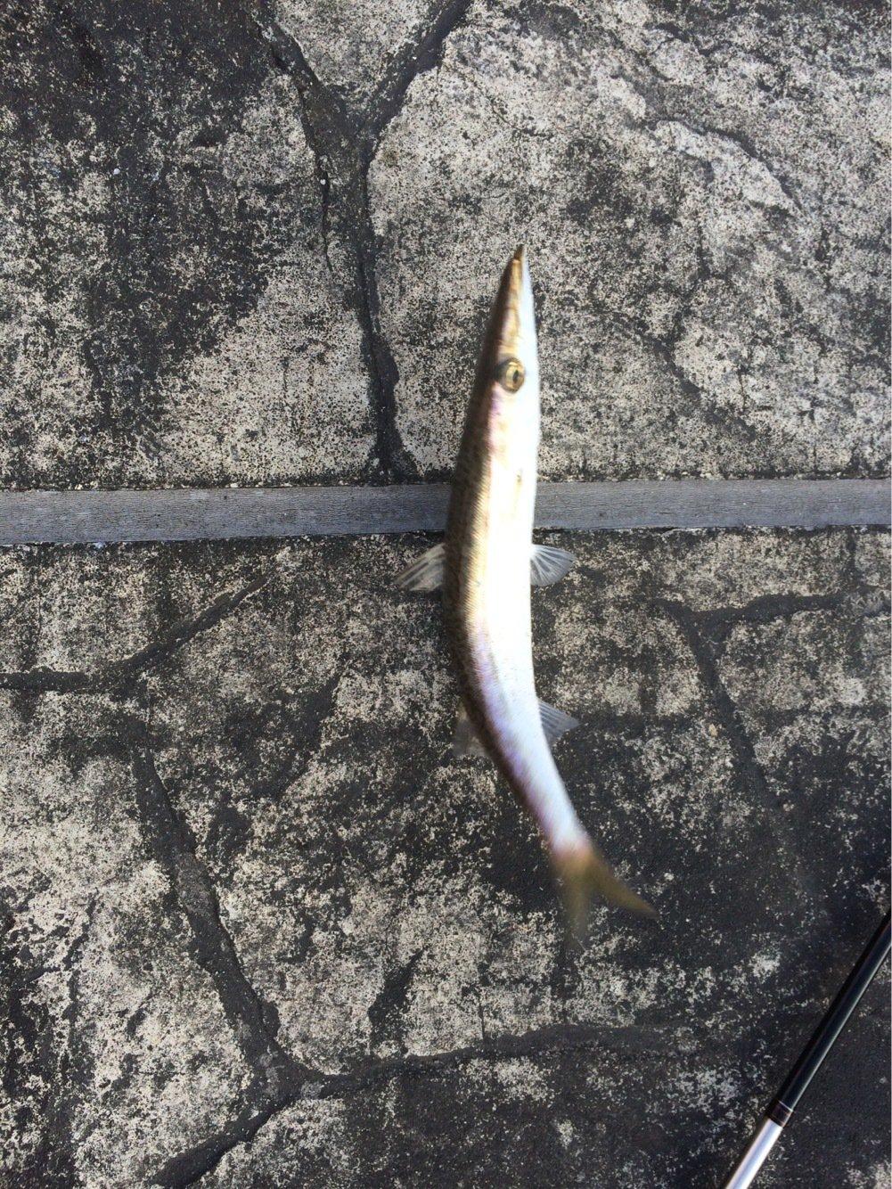 浜風さんの投稿画像,写っている魚はカマス