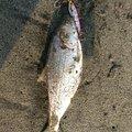 カオルさんの宮城県名取市でのコノシロの釣果写真