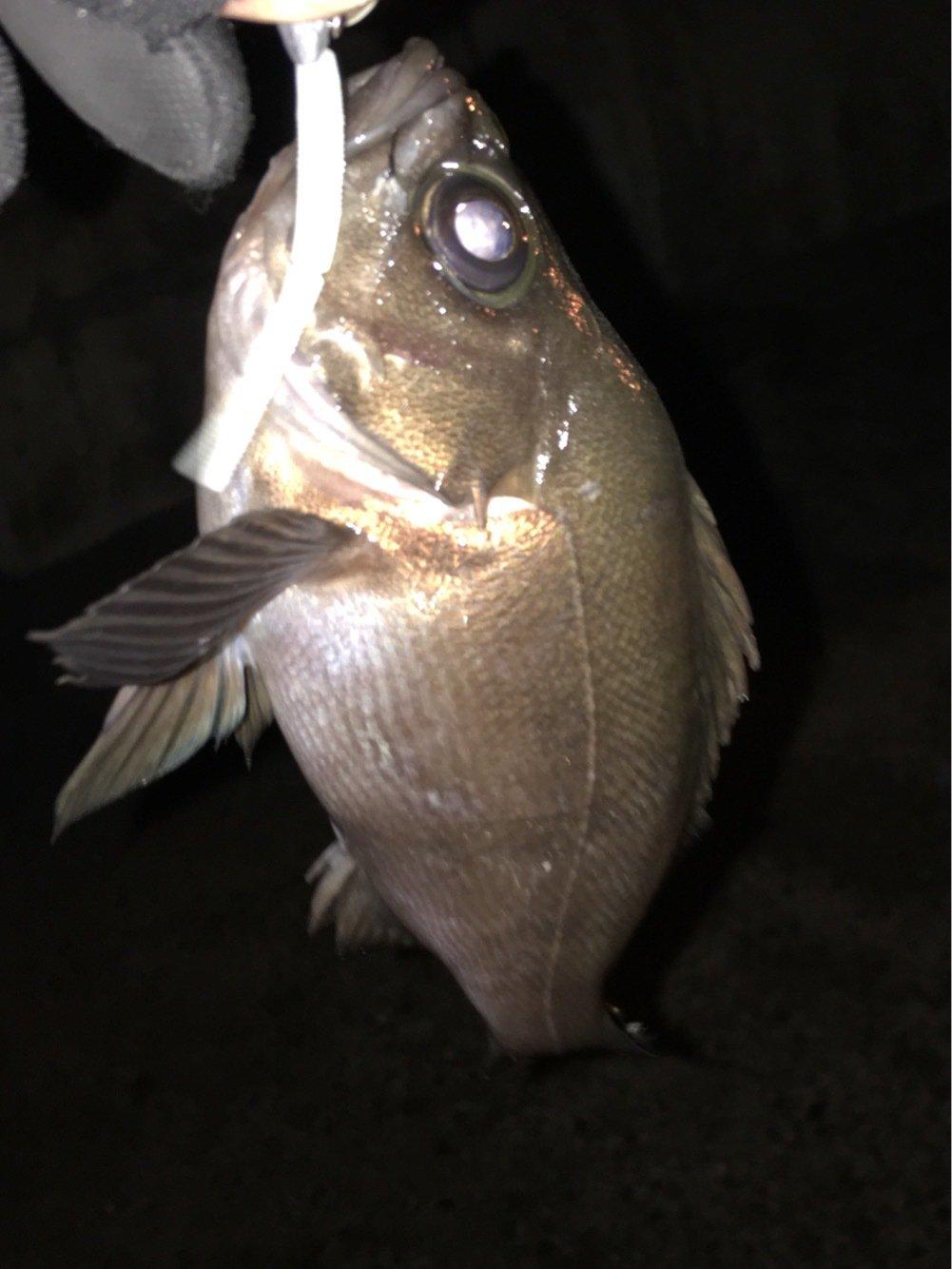職人さんの投稿画像,写っている魚はメバル