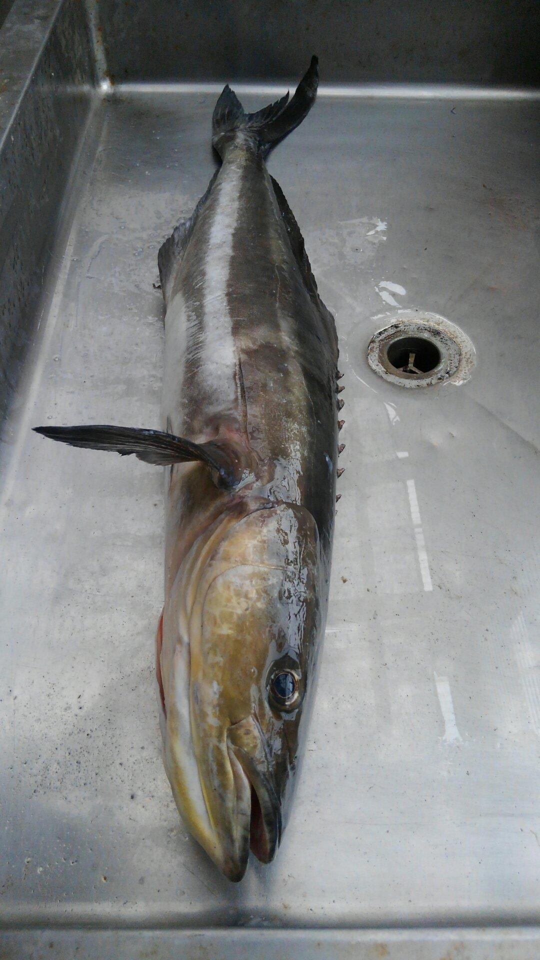 ゴールドさんの投稿画像,写っている魚はスギ