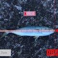 キミーさんの青森県北津軽郡でのワラサの釣果写真