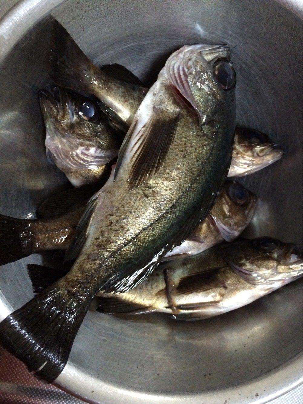 ダメ人間さんの投稿画像,写っている魚はメバル