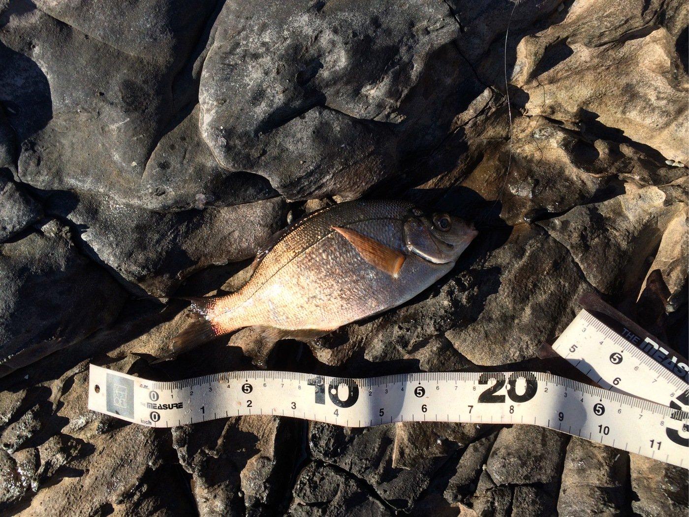ぐっchanさんの投稿画像,写っている魚はウミタナゴ
