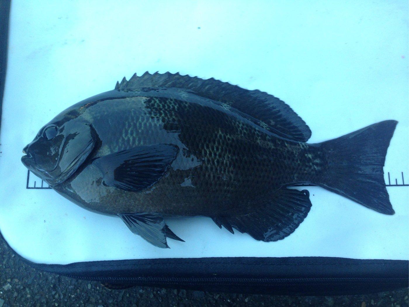野うさぎさんの投稿画像,写っている魚は