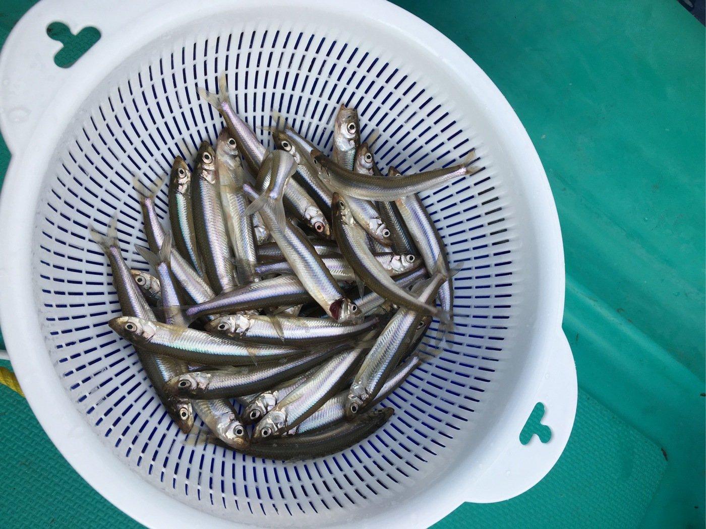 たくさんの投稿画像,写っている魚はワカサギ
