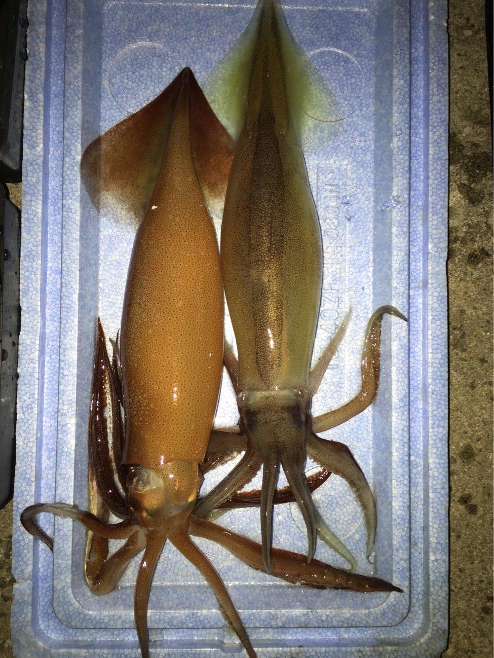 BENさんの投稿画像,写っている魚はスルメイカ