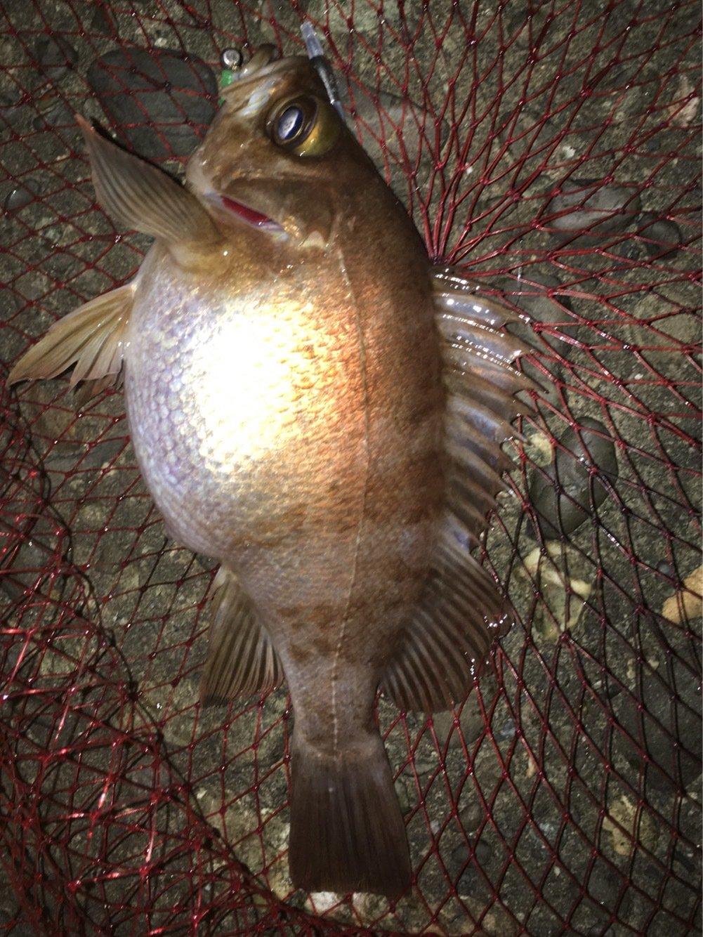 ぜっとんさんの投稿画像,写っている魚はメバル
