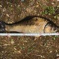 釣り娘さんの長野県塩尻市での釣果写真