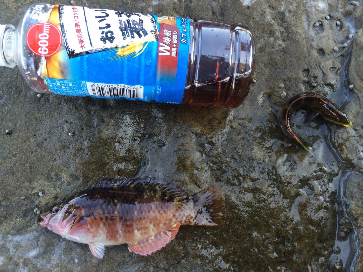 うーまんさんの投稿画像,写っている魚はアカササノハベラ