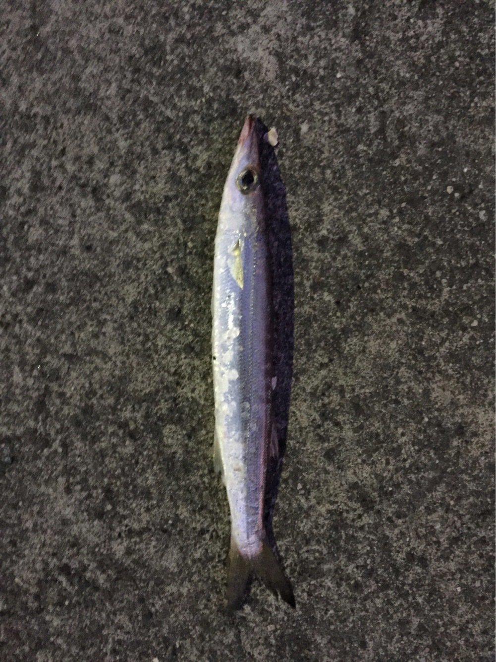 メバルさんの投稿画像,写っている魚はカマス