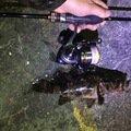 ユージンさんの兵庫県尼崎市でのタケノコメバルの釣果写真