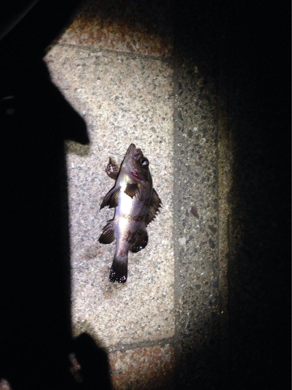 Zムヒワラさんの投稿画像,写っている魚は