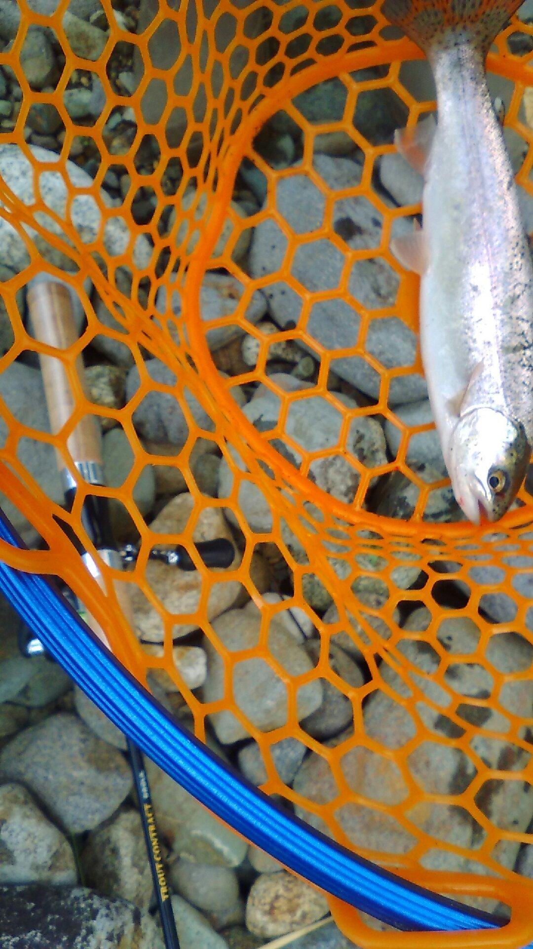 としまんさんの投稿画像,写っている魚はニジマス