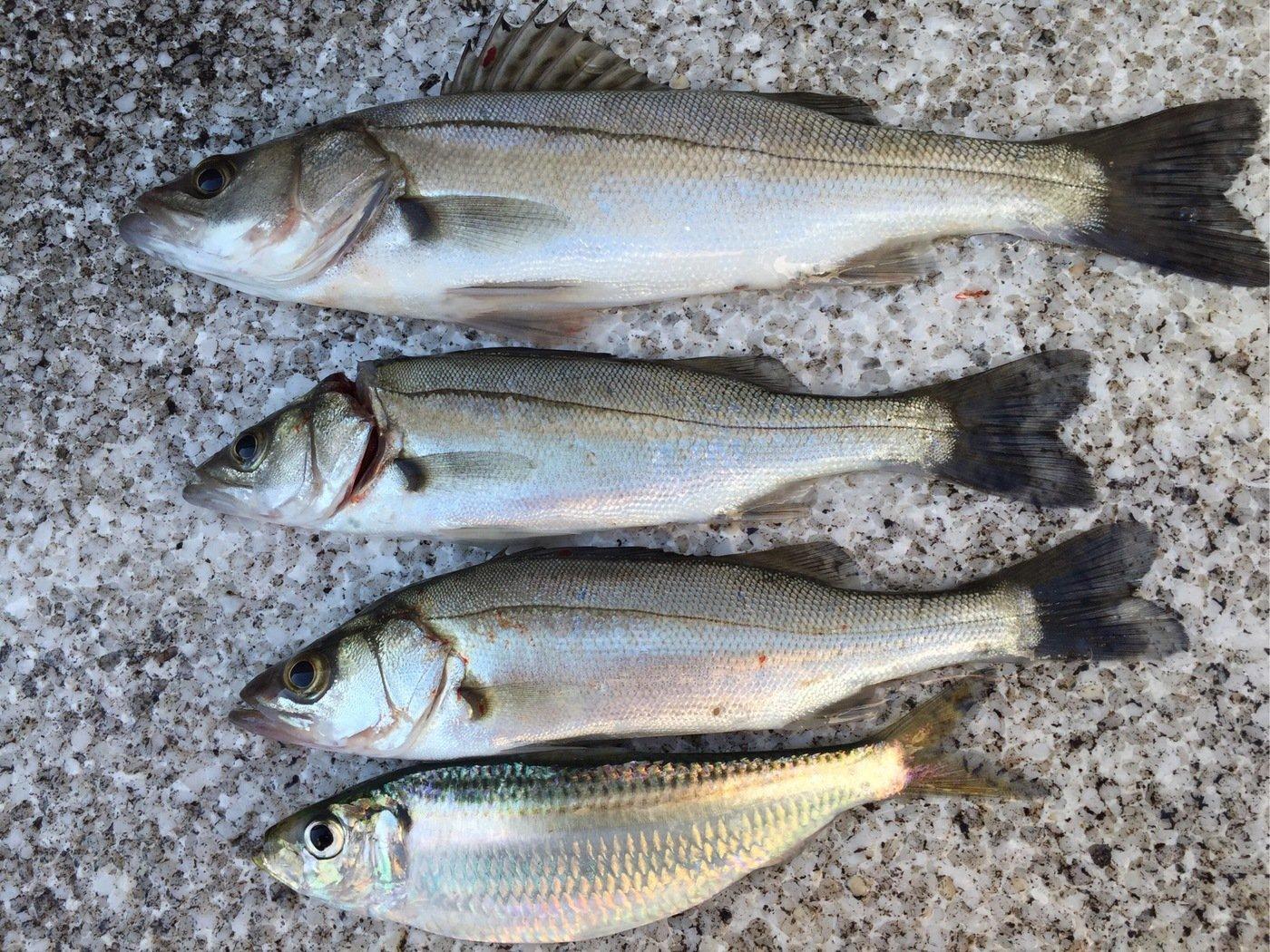 akipapaさんの投稿画像,写っている魚はスズキ
