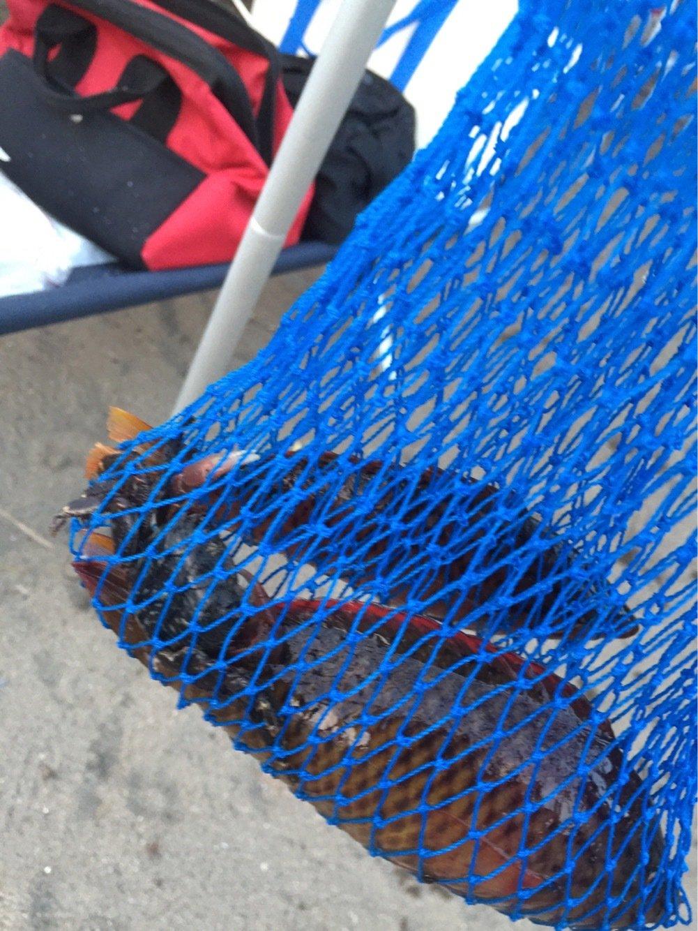 高橋一成さんの投稿画像,写っている魚はアカササノハベラ