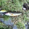 きっくさんの秋田県仙北郡での釣果写真