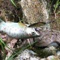 きっくさんの岩手県遠野市での釣果写真