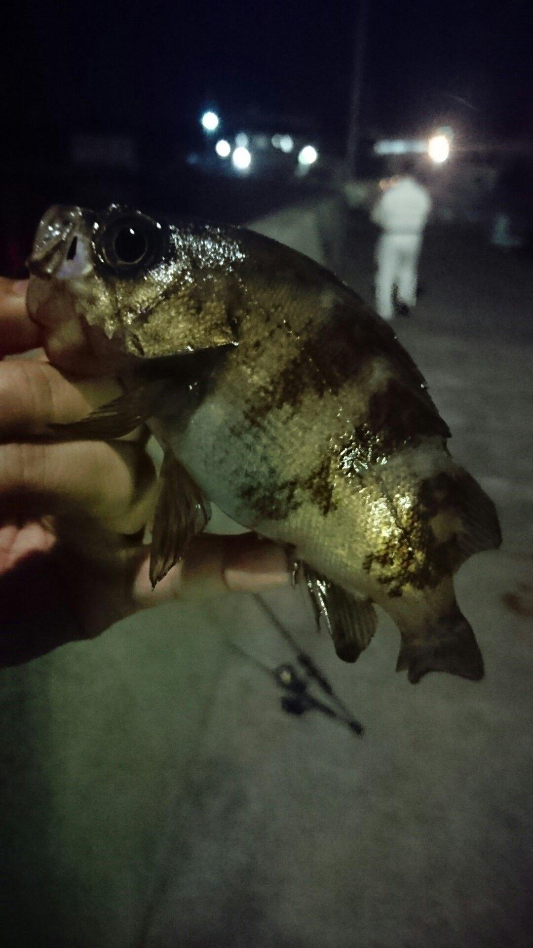 まつさんの投稿画像,写っている魚はシロメバル