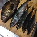 ガーシューさんの青森県十和田市での釣果写真