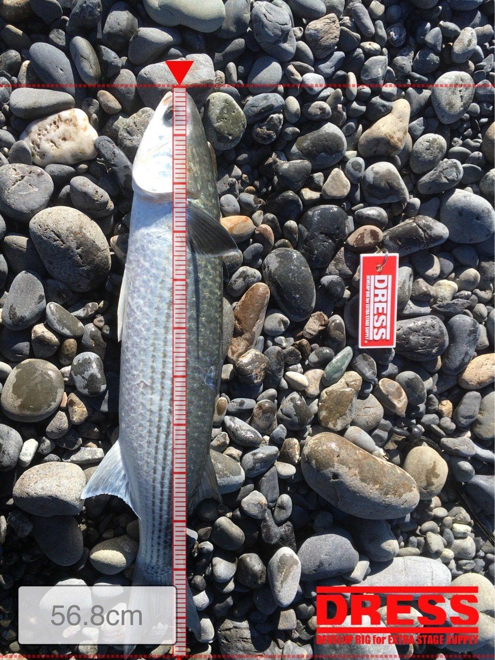 ヒロッシーさんの投稿画像,写っている魚はボラ