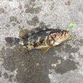 yaaamanさんの青森県でのキツネメバルの釣果写真