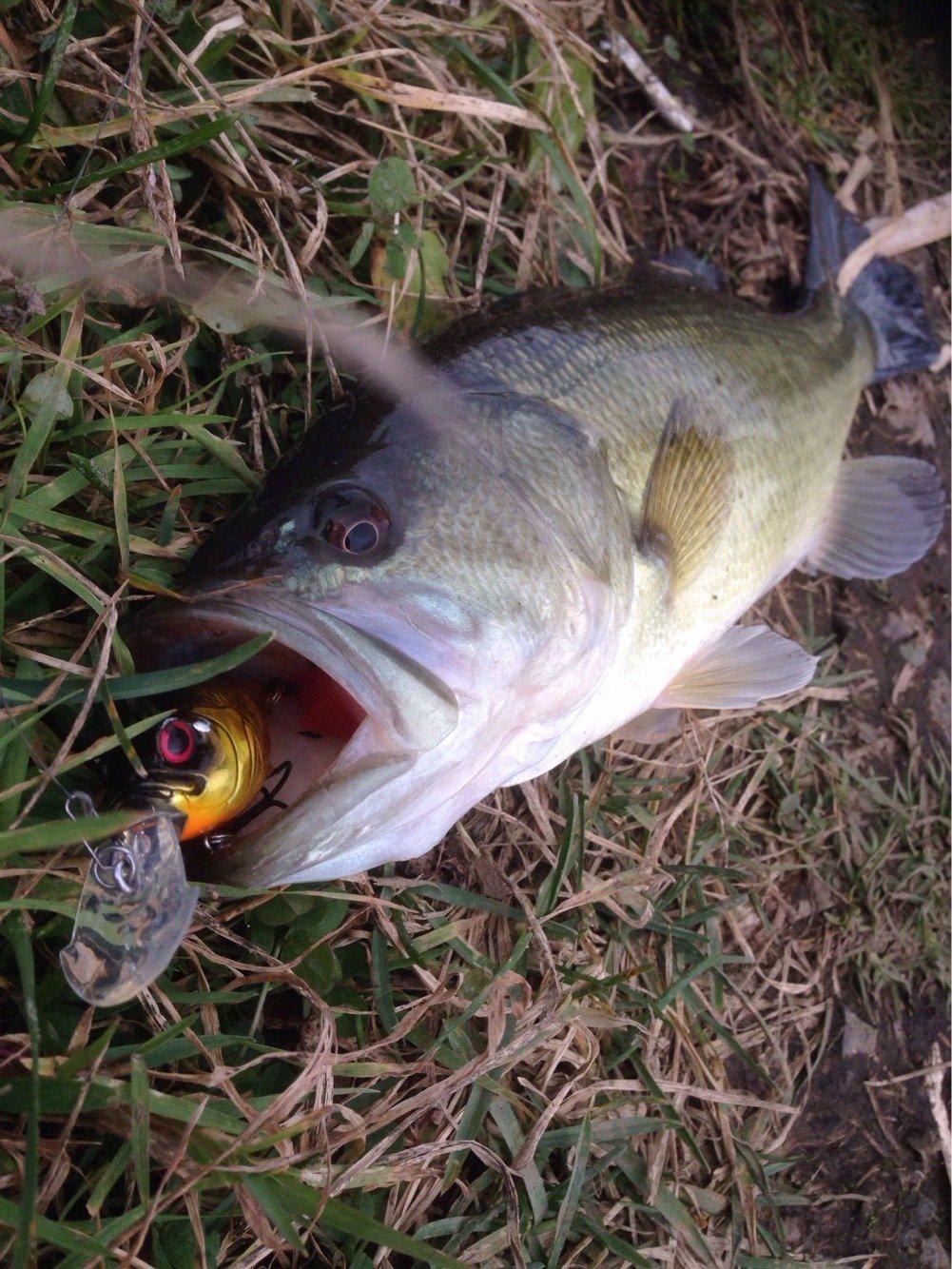 しょーごさんの投稿画像,写っている魚はブラックバス