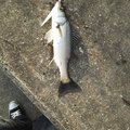 blitさんの千葉県長生郡でのスズキの釣果写真