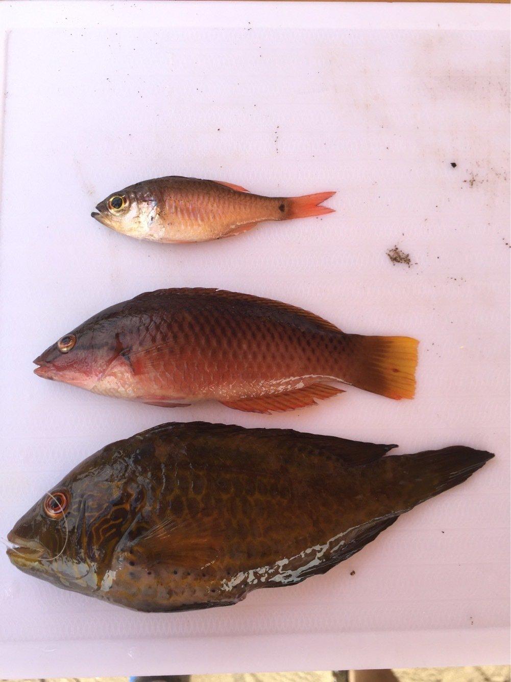 高橋一成さんの投稿画像,写っている魚はオハグロベラ