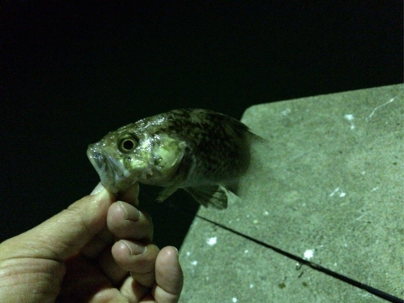さいとうさんの投稿画像,写っている魚はソイ