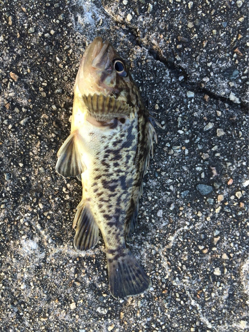 ふじけんさんの投稿画像,写っている魚はクロソイ