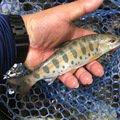ヤッシーさんの長野県小県郡での釣果写真