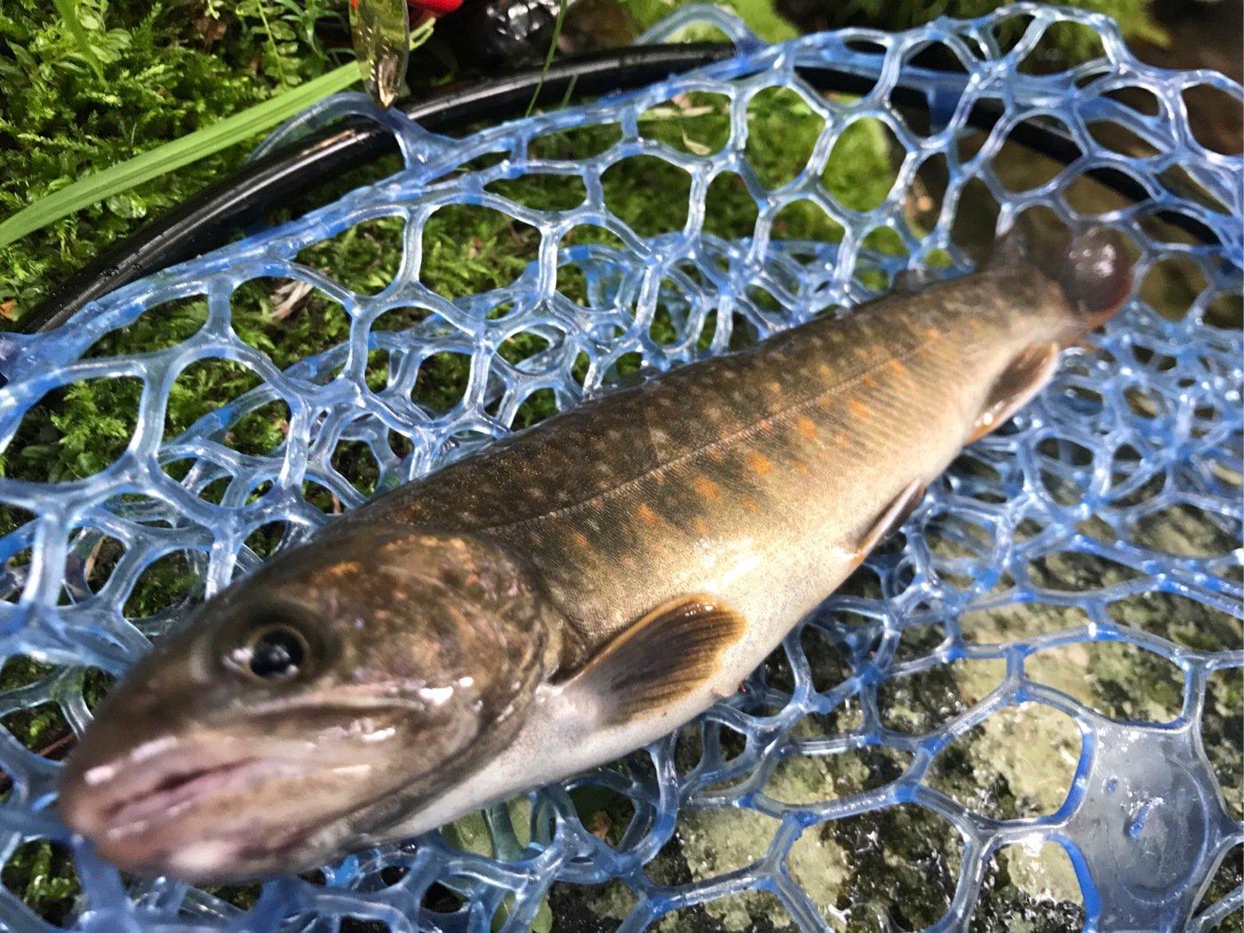ヤッシーさんの投稿画像,写っている魚はイワナ